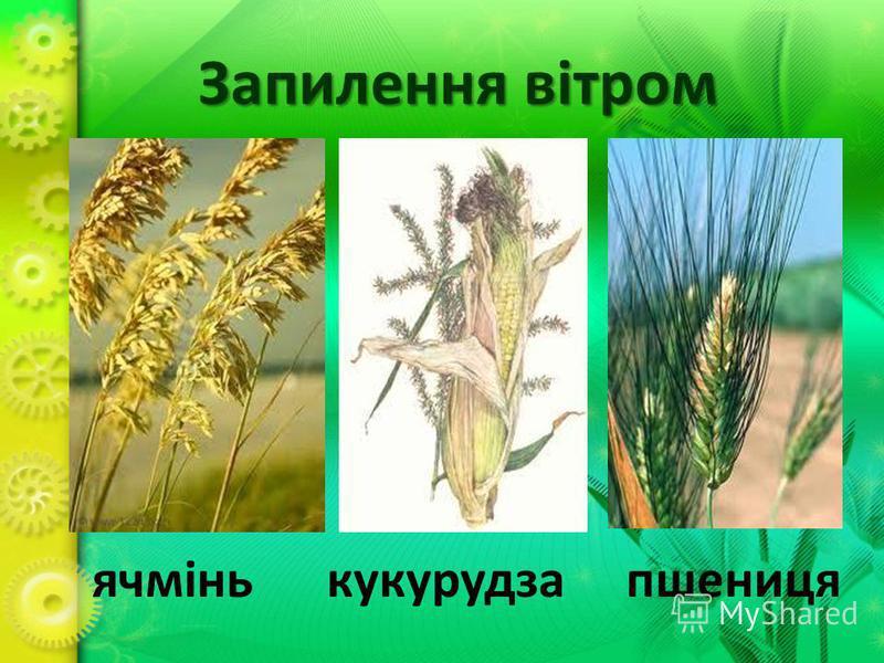 Запилення вітром ячмінь кукурудза пшениця