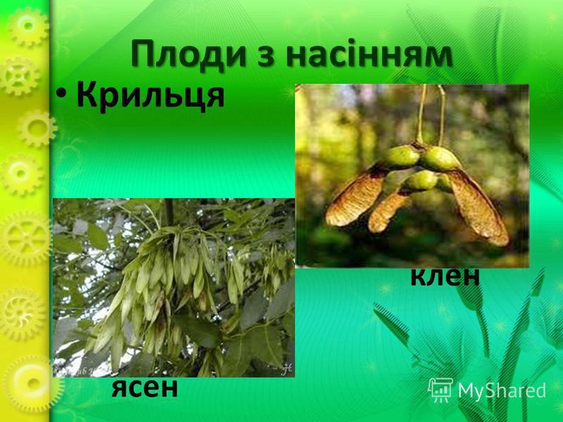 Плоди з насінням Крильця клен ясен