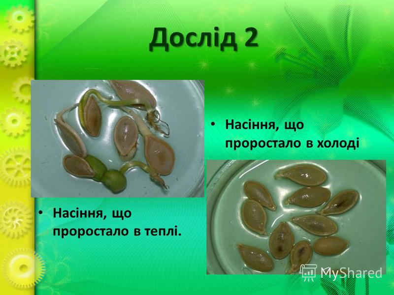 Дослід 2 Насіння, що проростало в теплі. Насіння, що проростало в холоді