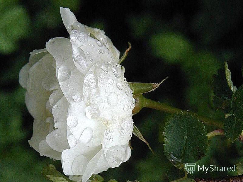 Как хороши, как свежи были розы… И.П. Мятлев И.П. Мятлев
