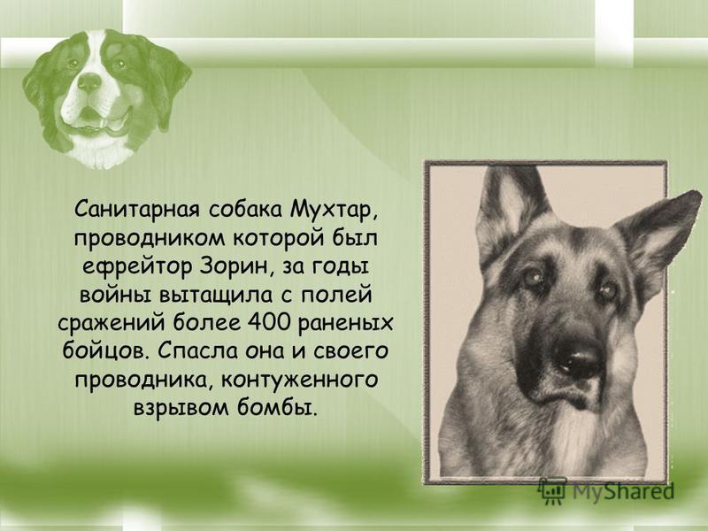 Санитарная собака Мухтар, проводником которой был ефрейтор Зорин, за годы войны вытащила с полей сражений более 400 раненых бойцов. Спасла она и своего проводника, контуженного взрывом бомбы.
