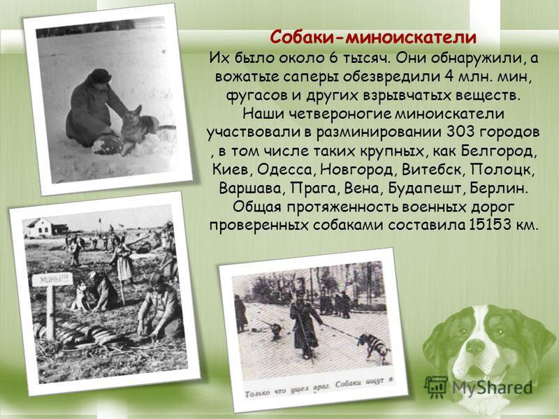 Собаки-миноискатели Их было около 6 тысяч. Они обнаружили, а вожатые саперы обезвредили 4 млн. мин, фугасов и других взрывчатых веществ. Наши четвероногие миноискатели участвовали в разминировании 303 городов, в том числе таких крупных, как Белгород,