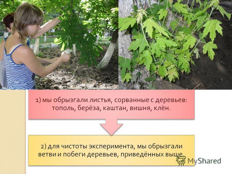 В первую очередь отрицательному воздействию подвергаются водные экосистемы, почва и растительность. Чтобы убедиться, как влияют кислотные осадки на листья растений, мы приготовили раствор H 2 SO 4 c pH раствора 4-5.