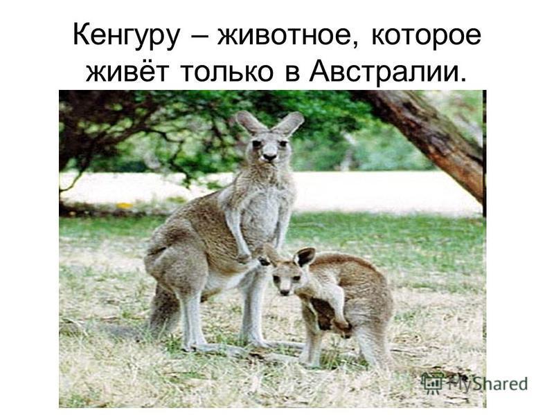 Кенгуру – животное, которое живёт только в Австралии.