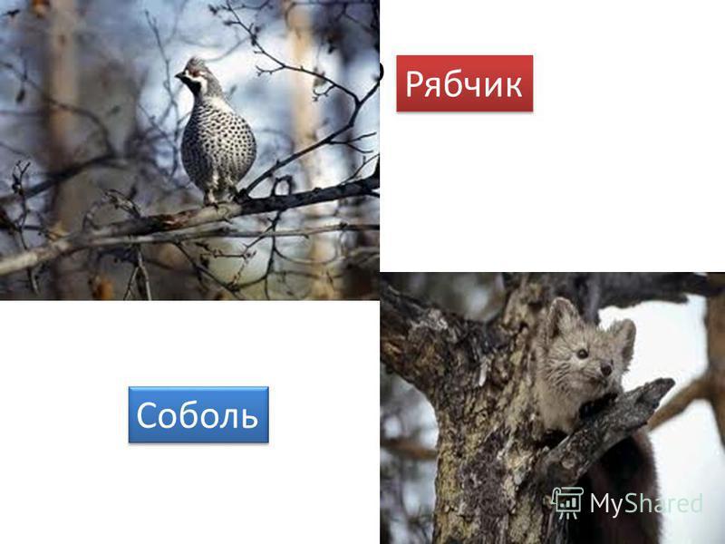 Со Рябчик Соболь