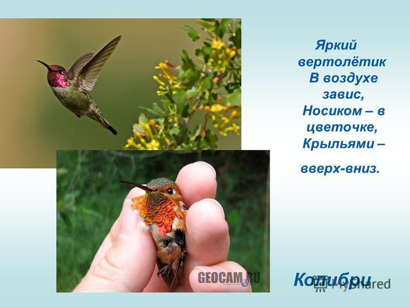 Яркий вертолётик В воздухе завис, Носиком – в цветочке, Крыльями – вверх-вниз. Колибри