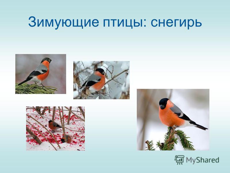 Зимующие птицы: снегирь