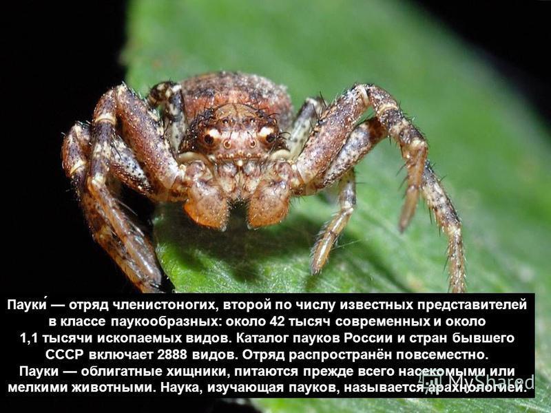 Пауки́ отряд членистоногих, второй по числу известных представителей в классе паукообразных: около 42 тысяч современных и около 1,1 тысячи ископаемых видов. Каталог пауков России и стран бывшего СССР включает 2888 видов. Отряд распространён повсемест