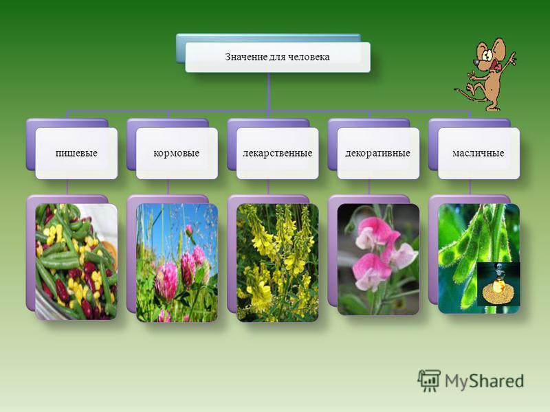 Формула цветка: Ч (5) Л 1+2+(2) Т (9) + 1 П 1. Лепестки: парус – 1, вёсла – 2, лодочка – (2). Соцветие – головка (клевер). Соцветие – кисть (люпин, донник, люцерна, белая акация). Плод - боб. Листорасположение – очерёдное, листья сложные Корневая сис