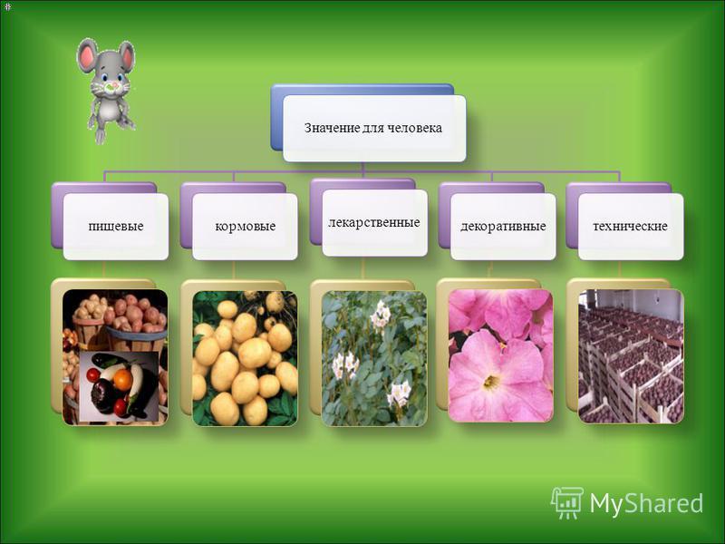 Формула цветка Ч (5) Л (5) Т 5 П 1 Соцветие – кисть или метёлка. Плод– ягода (паслён, томаты, картофель, перец), коробочка (табак, душистый табак, петуния, белена). Листорасположение – очерёдное. Корневая система – стержневая.