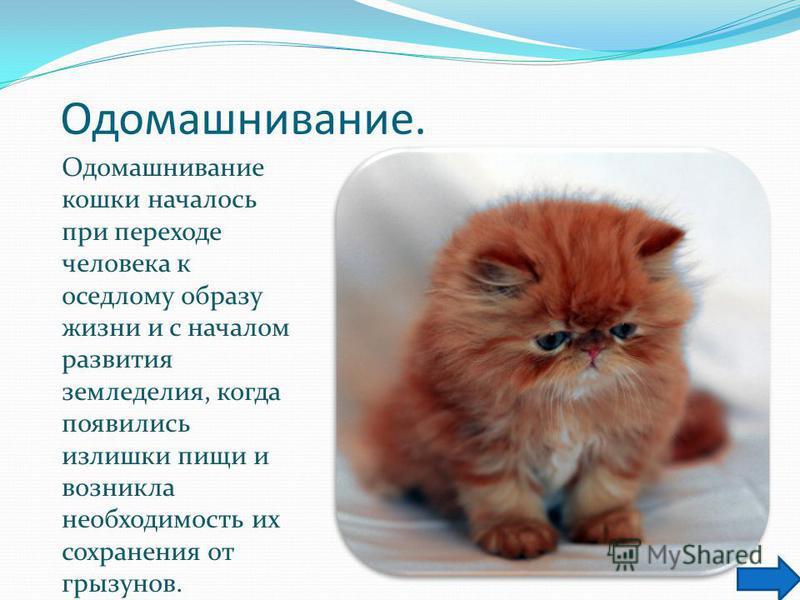 Одомашнивание. Одомашнивание кошки началось при переходе человека к оседлому образу жизни и с началом развития земледелия, когда появились излишки пищи и возникла необходимость их сохранения от грызунов.