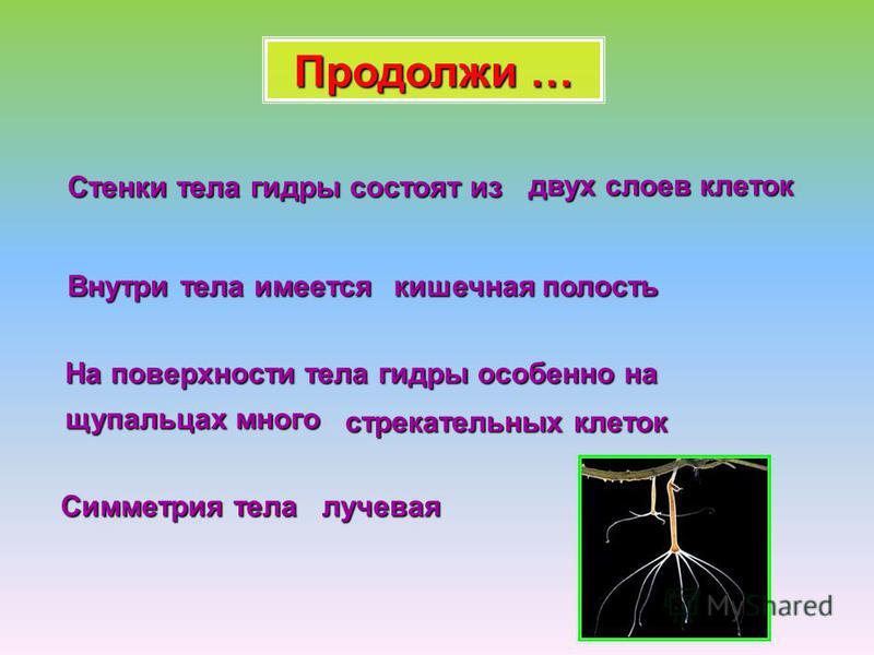 Стенки тела гидры состоят из двух слоев клеток Внутри тела имеется кишечная полость На поверхности тела гидры особенно на щупальцах много стрекательных клеток Симметрия тела лучевая Продолжи …