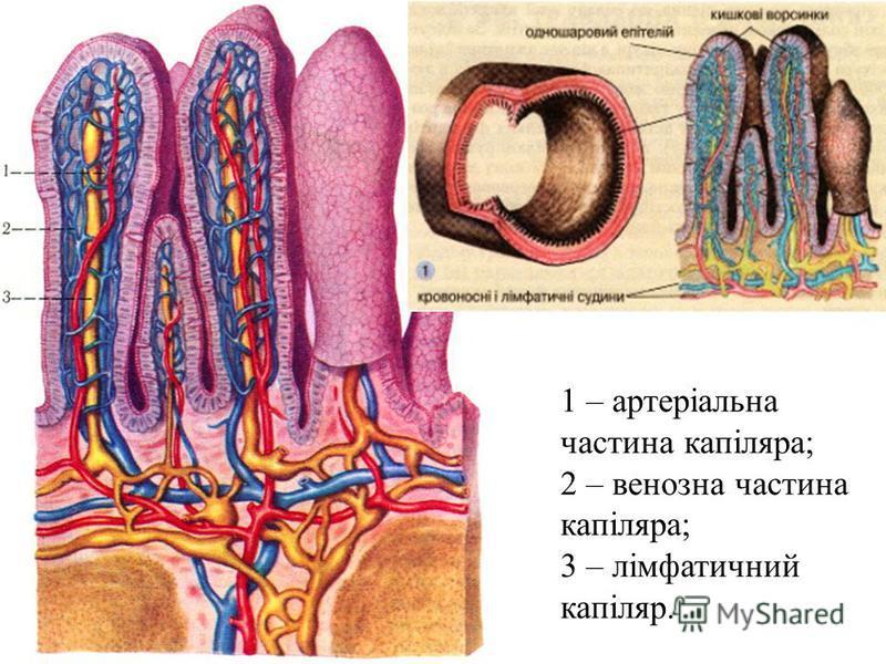 1 – артеріальна частина капіляра; 2 – венозна частина капіляра; 3 – лімфатичний капіляр.