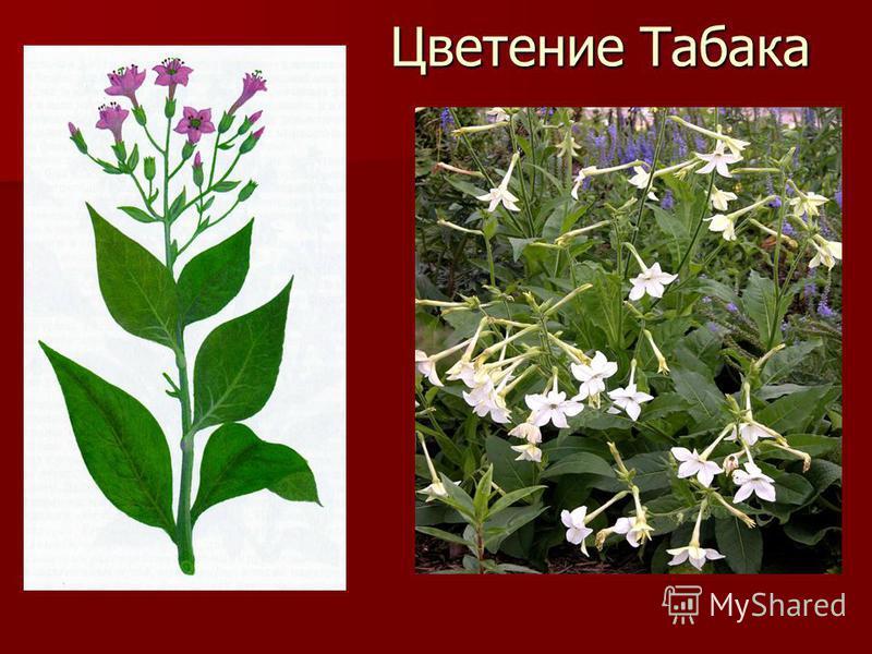 Цветение Табака