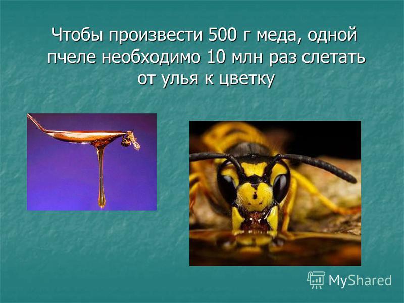 Чтобы произвести 500 г меда, одной пчеле необходимо 10 млн раз слетать от улья к цветку Чтобы произвести 500 г меда, одной пчеле необходимо 10 млн раз слетать от улья к цветку