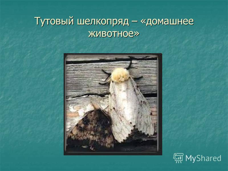 Тутовый шелкопряд – «домашнее животное»