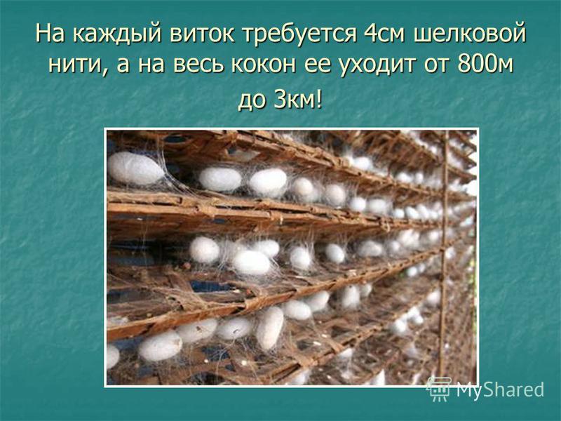 На каждый виток требуется 4 см шелковой нити, а на весь кокон ее уходит от 800 м до 3 км!