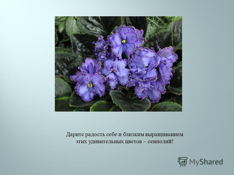 Дарите радость себе и близким выращиванием этих удивительных цветов – сенполий !