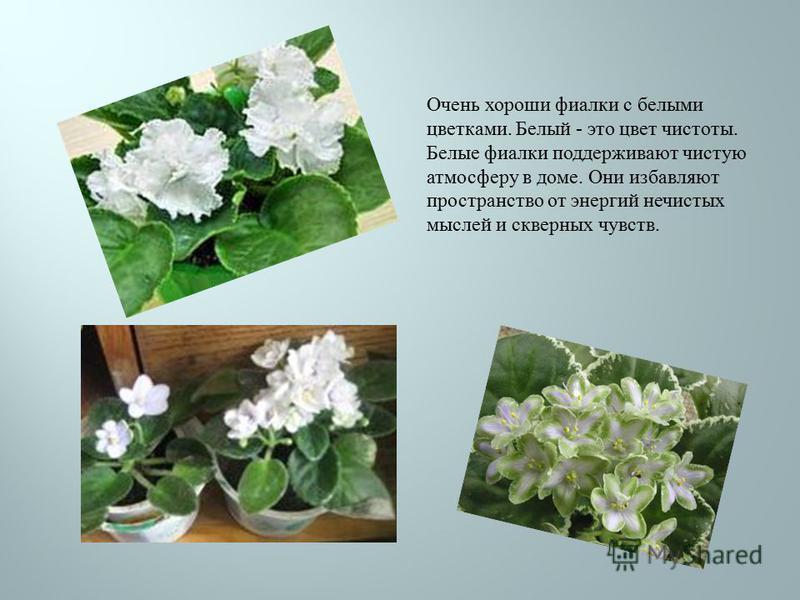 Очень хороши фиалки с белыми цветками. Белый - это цвет чистоты. Белые фиалки поддерживают чистую атмосферу в доме. Они избавляют пространство от энергий нечистых мыслей и скверных чувств.