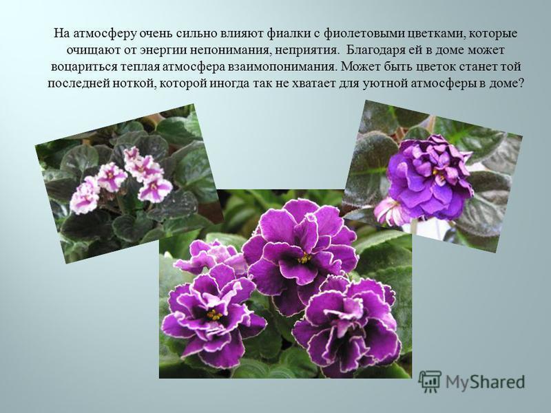 На атмосферу очень сильно влияют фиалки с фиолетовыми цветками, которые очищают от энергии непонимания, неприятия. Благодаря ей в доме может воцариться теплая атмосфера взаимопонимания. Может быть цветок станет той последней ноткой, которой иногда та