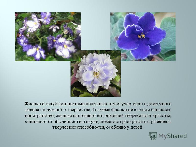 Фиалки с голубыми цветами полезны в том случае, если в доме много говорят и думают о творчестве. Голубые фиалки не столько очищают пространство, сколько наполняют его энергией творчества и красоты, защищают от обыденности и скуки, помогают раскрывать