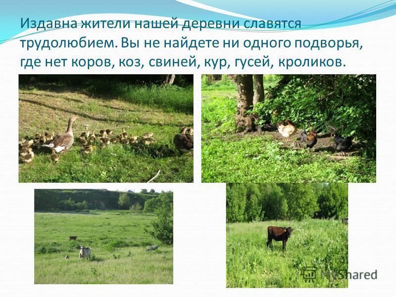 Издавна жители нашей деревни славятся трудолюбием. Вы не найдете ни одного подворья, где нет коров, коз, свиней, кур, гусей, кроликов.