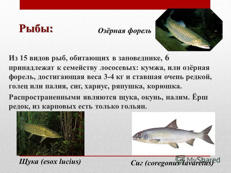 Рыбы: Из 15 видов рыб, обитающих в заповеднике, 6 принадлежат к семейству лососевых: кумжа, или озёрная форель, достигающая веса 3-4 кг и ставшая очень редкой, голец или палия, сиг, хариус, ряпушка, корюшка. Распространенными являются щука, окунь, на