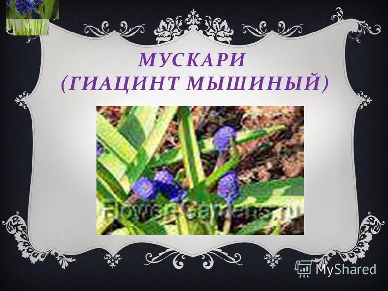 МУСКАРИ ( ГИАЦИНТ МЫШИНЫЙ )