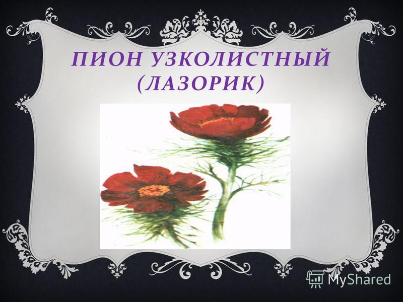 ПИОН УЗКОЛИСТНЫЙ ( ЛАЗОРИК )