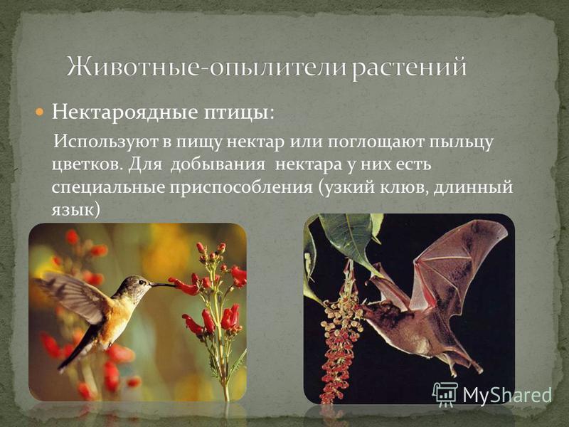 Нектароядные птицы: Используют в пищу нектар или поглощают пыльцу цветков. Для добывания нектара у них есть специальные приспособления (узкий клюв, длинный язык)