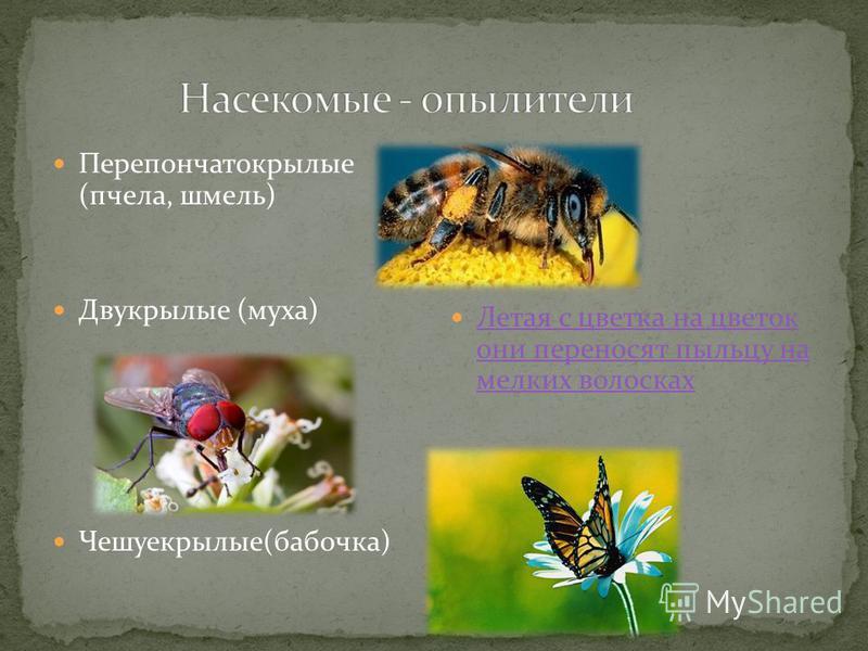 Перепончатокрылые (пчела, шмель) Двукрылые (муха) Чешуекрылые(бабочка) Летая с цветка на цветок они переносят пыльцу на мелких волосках Летая с цветка на цветок они переносят пыльцу на мелких волосках