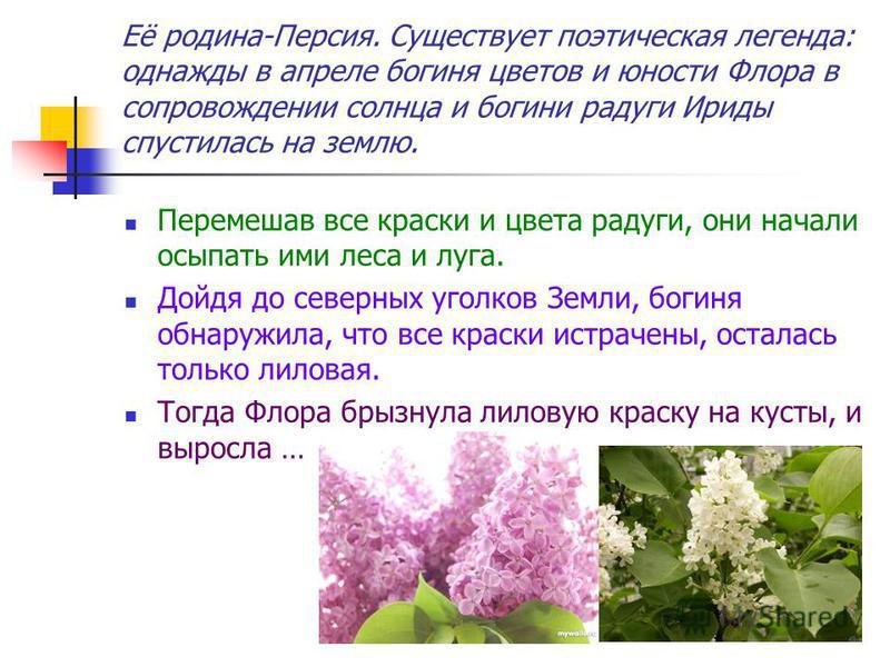 Её родина-Персия. Существует поэтическая легенда: однажды в апреле богиня цветов и юности Флора в сопровождении солнца и богини радуги Ириды спустилась на землю. Перемешав все краски и цвета радуги, они начали осыпать ими леса и луга. Дойдя до северн