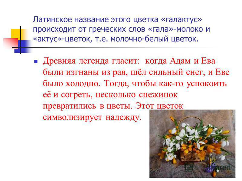 Латинское название этого цветка «галкактус» происходит от греческих слов «гала»-молоко и «кактус»-цветок, т.е. молочно-белый цветок. Древняя легенда гласит: когда Адам и Ева были изгнаны из рая, шёл сильный снег, и Еве было холодно. Тогда, чтобы как-