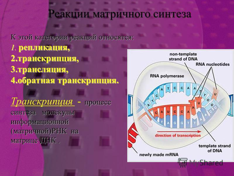 К этой категории реакций относятся: 1. репликация, 2. транскрипция, 3. трансляция, 4. обратная транскрипция. процесс Транскрипция - процесс синтеза молекулы информационной (матричной)РНК на матрице ДНК. Реакции матричного синтеза