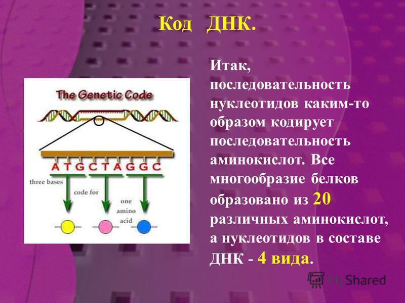 Итак, последовательность нуклеотидов каким-то образом кодирует последовательность аминокислот. Все многообразие белков образовано из 20 различных аминокислот, а нуклеотидов в составе ДНК - 4 вида. Код ДНК.