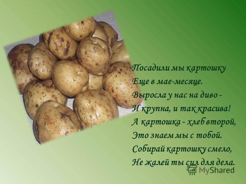 Посадили мы картошку Еще в мае-месяце. Выросла у нас на диво - И крупна, и так красива! А картошка - хлеб второй, Это знаем мы с тобой. Собирай картошку смело, Не жалей ты сил для дела.