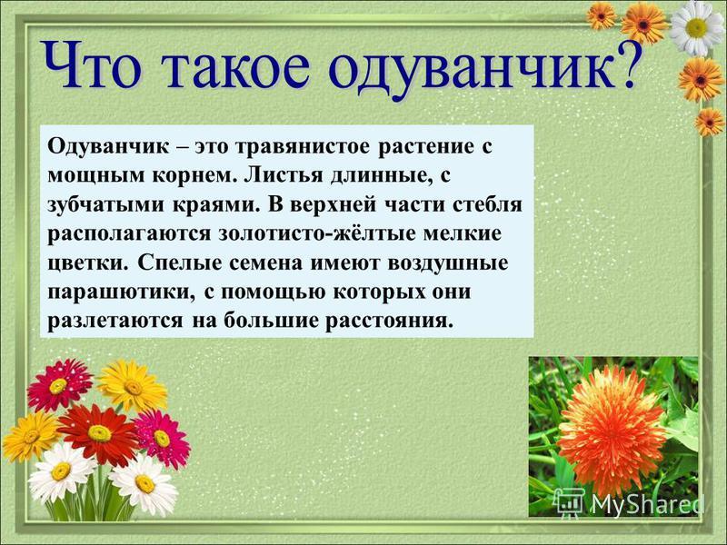 Одуванчик – это травянистое растение с мощным корнем. Листья длинные, с зубчатыми краями. В верхней части стебля располагаются золотисто-жёлтые мелкие цветки. Спелые семена имеют воздушные парашютики, с помощью которых они разлетаются на большие расс
