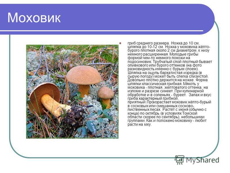 Моховик гриб среднего размера. Ножка до 10 см, шляпка до 10-12 см. Ножка у моховика жёлто- бурого плотная около 2 см диаметром, к низу немного расширенная. Молодые грибы формой чем-то немного похожи на подосиновик. Трубчатый слой плотный бывает оливк