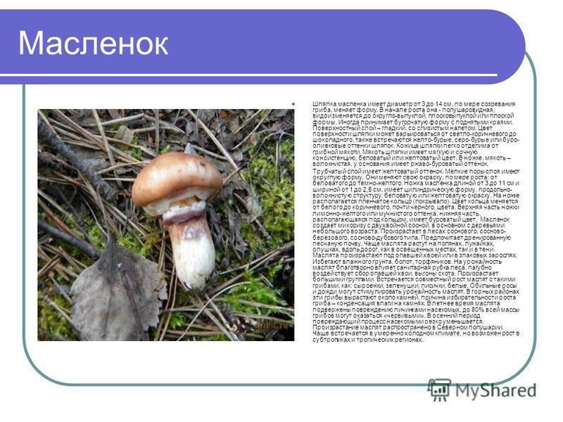 Масленок Шляпка масленка имеет диаметр от 3 до 14 см, по мере созревания гриба, меняет форму. В начале роста она - полушаровидная, видоизменяется до округло-выпуклой, плосковыпуклой или плоской формы. Иногда принимает бугорчатую форму с поднятыми кра