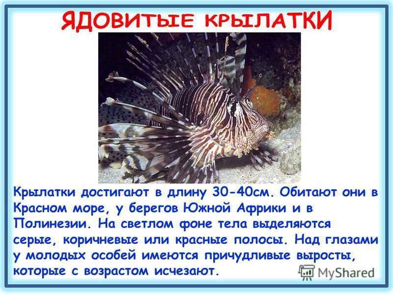 Крылатки достигают в длину 30-40 см. Обитают они в Красном море, у берегов Южной Африки и в Полинезии. На светлом фоне тела выделяются серые, коричневые или красные полосы. Над глазами у молодых особей имеются причудливые выросты, которые с возрастом