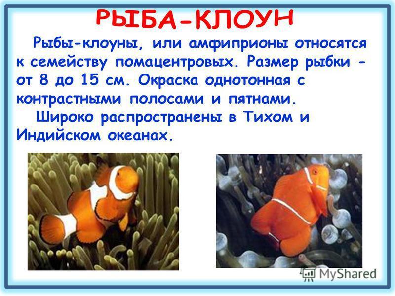 Рыбы-клоуны, или амфиприоны относятся к семейству помацентровых. Размер рыбки - от 8 до 15 см. Окраска однотонная с контрастными полосами и пятнами. Широко распространены в Тихом и Индийском океанах.