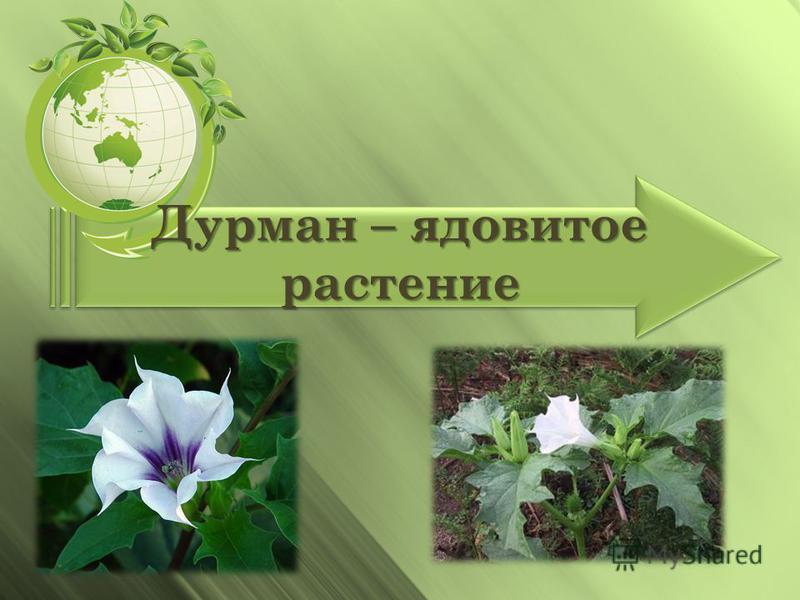 Дурман – ядовитое растение