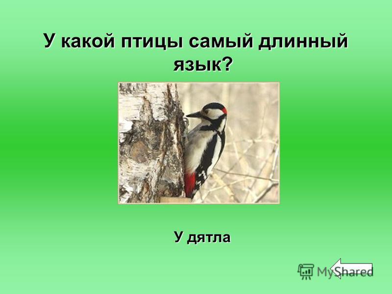 У какой птицы самый длинный язык? У дятла