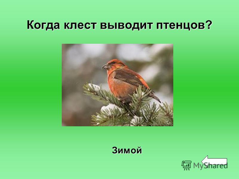 Когда клест выводит птенцов? Зимой