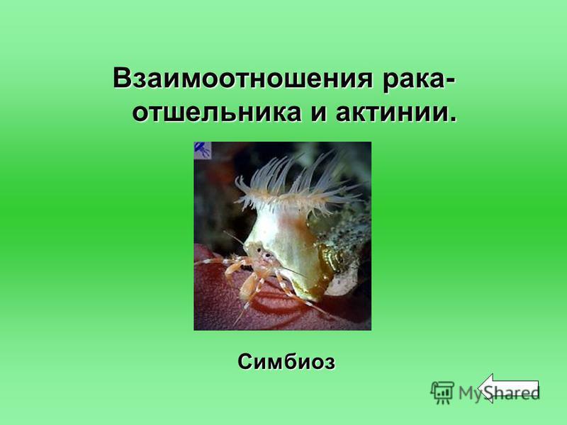 Взаимоотношения рака- отшельника и актинии. Симбиоз