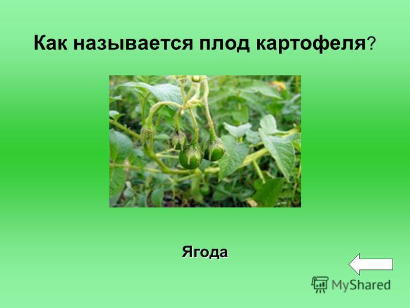 Как называется плод картофеля ? Ягода