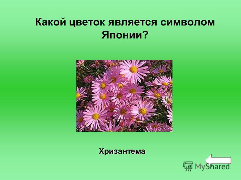 Какой цветок является символом Японии? Хризантема