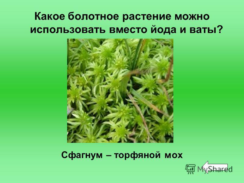 Какое болотное растение можно использовать вместо йода и ваты? Сфагнум – торфяной мох