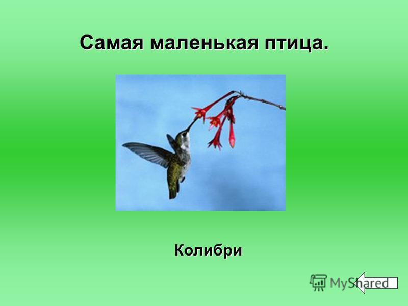 Самая маленькая птица. Колибри