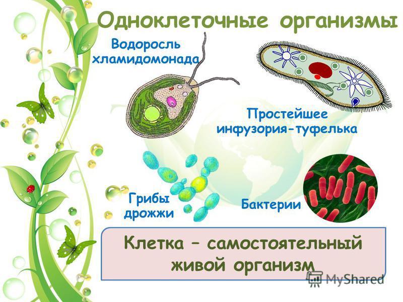 Одноклеточные организмы Водоросль хламидомонада Простейшее инфузория-туфелька Грибы дрожжи Бактерии Клетка – самостоятельный живой организм